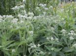 Durchwachsener Wasserdost, Eupatorium perfoliatum, Topfware