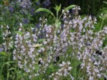 Echter Salbei / Apotheker Salbei / Gewürz-Salbei, Salvia officinalis, Topfware