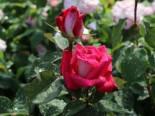 Edelrose 'Acapella' ®, Rosa 'Acapella' ®, Wurzelware
