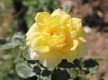 Edelrose 'Aperitif' ®, Rosa 'Aperitif' ®, Wurzelware