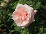 Edelrose 'Aphrodite' ®, Rosa 'Aphrodite' ®, Containerware