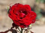 Edelrose 'Black Lady' ®, Rosa 'Black Lady' ®, Wurzelware