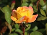 Edelrose 'Canary' ®, Rosa 'Canary' ®, Wurzelware