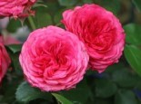 Edelrose 'Candy Rokoko' ®, Rosa 'Candy Rokoko' ® / Noblesse ® Spray-Rose, Wurzelware