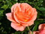 Edelrose 'Cherry Brandy' ®, Rosa 'Cherry Brandy' ®, Wurzelware