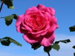 Edelrose 'Duftrausch' ®, Stamm 90 cm, Rosa 'Duftrausch' ®, Stämmchen