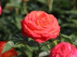 Edelrose 'Feurio' ®, Rosa 'Feurio' ® ADR-Rose, Wurzelware