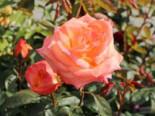 Edelrose 'Frohsinn' ®, Rosa 'Frohsinn' ®, Wurzelware