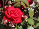 Edelrose 'Helmut Kohl Rose', Rosa 'Helmut Kohl Rose', Wurzelware