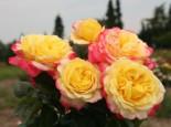 Edelrose 'Kordes Jubilee', Rosa 'Kordes Jubilee', Wurzelware
