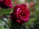 Edelrose Parfuma ® 'Gräfin Diana' ®, Rosa Parfuma ® 'Gräfin Diana' ® ADR-Rose, Containerware