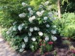Eichenblättrige Hortensie 'Alice', 40-60 cm, Hydrangea quercifolia 'Alice', Containerware
