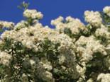 Eingriffeliger Weißdorn, 40-60 cm, Crataegus monogyna, Wurzelware