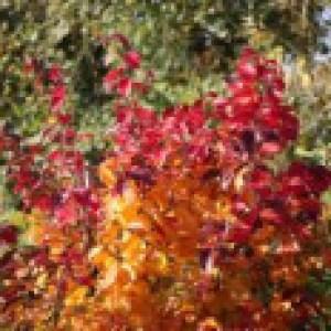 Eisenbaum 'Vanessa', 40-60 cm, Parrotia persica 'Vanessa', Containerware