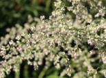 Elfenraute 'Weiße Dame', Artemisia lactiflora 'Weiße Dame', Topfware