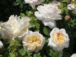 Englische Rose 'Emanuel' ®, Rosa 'Emanuel' ®, Wurzelware