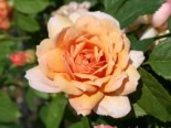 Englische Rose 'Grace' ®, Rosa 'Grace' ®, Containerware