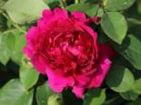 Englische Rose 'William Shakespeare 2000' ®, Rosa 'William Shakespeare 2000' ®, Containerware