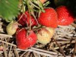 Erdbeere 'Senga ® Sengana ®', Fragaria x ananassa 'Senga ® Sengana ®', Topfware
