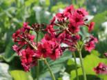 Etagen-Schlüsselblume 'Millers Crimson', Primula japonica 'Millers Crimson', Topfware