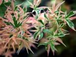 Fächer-Ahorn 'Beni shishi henge', 30-40 cm, Acer palmatum 'Beni shishi henge', Containerware