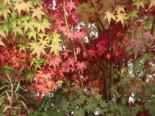 Fächerahorn, 100-125 cm, Acer palmatum, Containerware