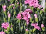 Feder-Nelke 'Maggie', Dianthus plumarius 'Maggie', Topfware