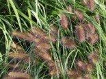 Federborstengras 'Herbstzauber', Pennisetum alopecuroides 'Herbstzauber', Topfware