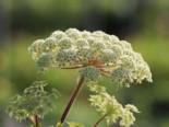 Feinblättrige Silge, Selinum wallichianum, Topfware