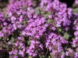 Filziger Thymian, Wolliger Thymian, Thymus praecox subsp. pseudolanuginosus, Topfware