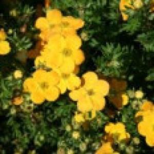 Fingerstrauch 'Orangeschimmer', 20-30 cm, Potentilla fruticosa 'Orangeschimmer', Containerware