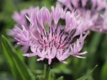 Flockenblume 'Rosea', Centaurea montana 'Rosea', Topfware