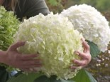 Freiland-Hortensie Proven Winners ® 'Incrediball' ® / 'Strong Annabelle' ®, 60-80 cm, Hydrangea arborescens Proven Winners ® 'Incrediball' ® / 'Strong Annabelle' ®, Containerware