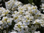 Gänsekresse 'Little Treasure White', Arabis caucasica 'Little Treasure White', Topfware