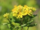 Geflügeltes Johanniskraut, Hypericum tetrapterum, Topfware