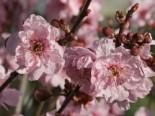 Gefülltblühende Blutpflaume, Stamm 80 cm, 100-125 cm, Prunus blireana, Stämmchen