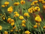 Gefülltblühender Scharfer Hahnenfuß 'Multiplex', Ranunculus acris 'Multiplex', Topfware