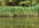 Gemeines Schilfrohr, Phragmites australis, Topfware