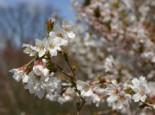 Geschlitzte Kirsche 'Kojou-no-mai', Stamm 80 cm, 100-125 cm, Prunus incisa 'Kojou-no-mai', Stämmchen