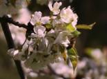 Geschlitzte Kirsche 'Lotte', Stamm 50 cm, 60-80 cm, Prunus incisa 'Lotte', Stämmchen