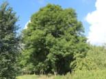 Gewöhnliche Esche / Gemeine Esche / Hohe Esche, 80-120 cm, Fraxinus excelsior, Wurzelware