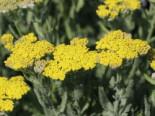 Goldquirl-Garbe, Achillea clypeolata, Topfware