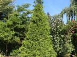 Goldspitzen Lebensbaum 'Aurescens', 40-60 cm, Thuja plicata 'Aurescens', Containerware