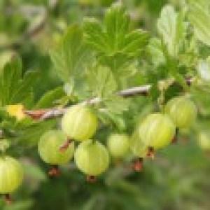 Grüne Stachelbeere 'Reflamba', Stamm 40-50 cm, 80-90 cm, Ribes uva-crispa 'Reflamba', Stämmchen