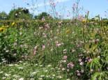 Hanfblättriger Eibisch, Althaea cannabina, Topfware
