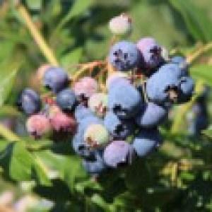 Heidelbeere 'Bluecrop', 40-60 cm, Vaccinium corymbosum 'Bluecrop', Containerware