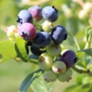Heidelbeere 'Bluetta', 30-40 cm, Vaccinium corymbosum 'Bluetta', Containerware
