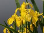 Heimische Sumpf-Schwertlilie, Iris pseudacorus, Topfware