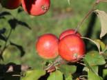 Herbstapfel 'Schöner von Herrnhut', Stamm 40-60 cm, 120-160 cm, Malus 'Schöner von Herrnhut', Containerware
