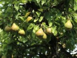 Herbstbirne 'Gellerts Butterbirne', 'Beurré Hardy', Stamm 40-60 cm, 120-160 cm, Pyrus communis 'Gellerts Butterbirne' / 'Beurré Hardy', Wurzelware